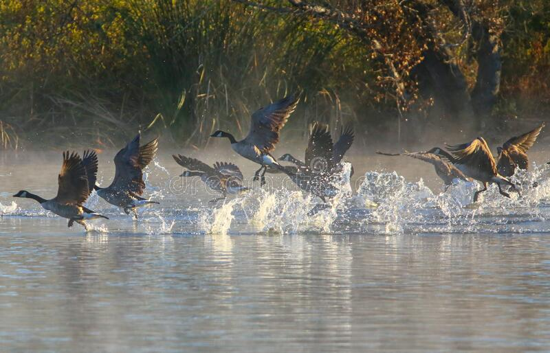 Canadian Geese Take Off stock images