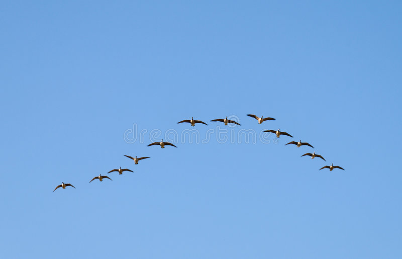 Download Canadian Geese Wedge Royalty Free Stock Images - Image: 6209749