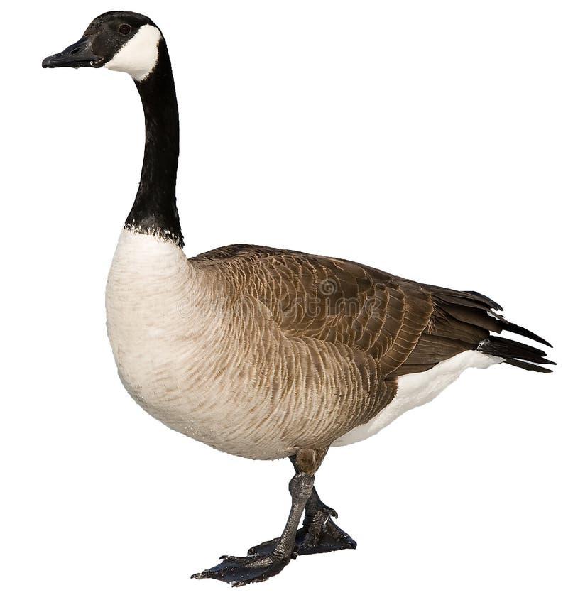 Free Canadian Goose Stock Photos - 14846373