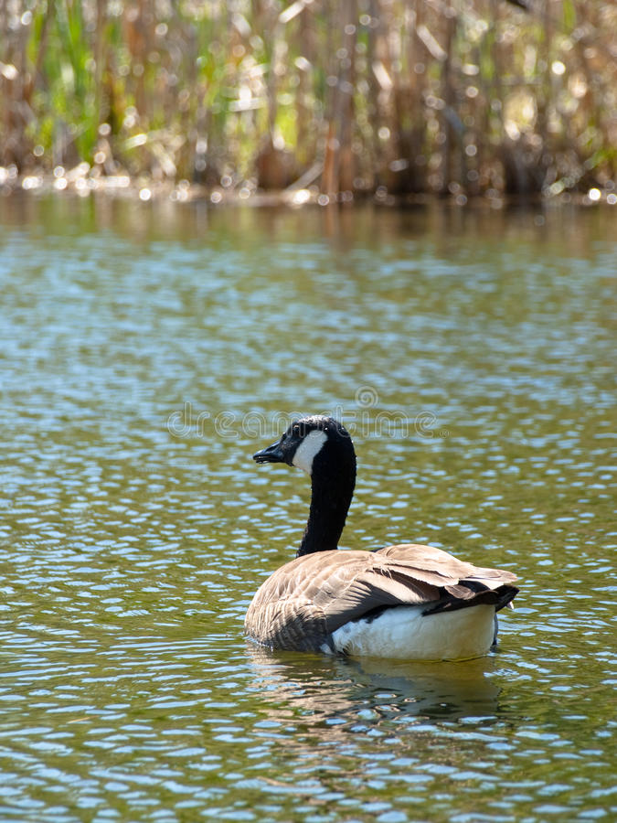 Download Canadian goose stock image. Image of river, bathing, natural - 14868495