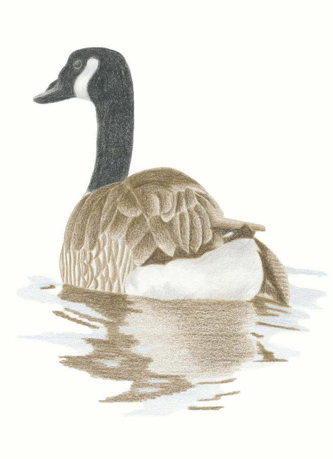 Canadian Goose stock illustration