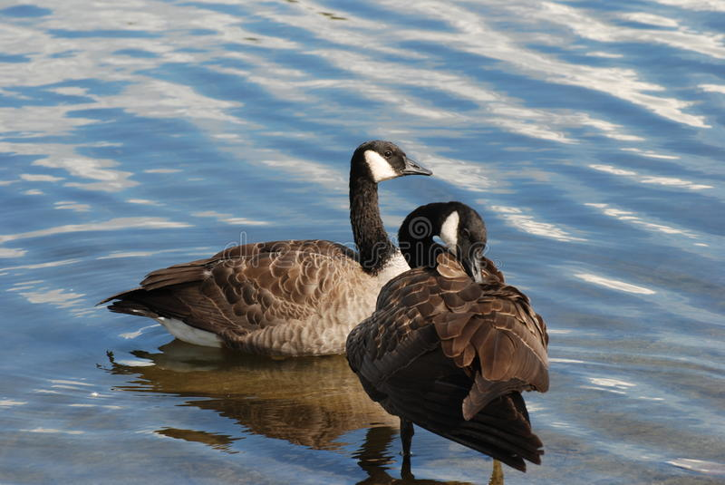 Download Canadian goose stock photo. Image of rock, migration - 16301150