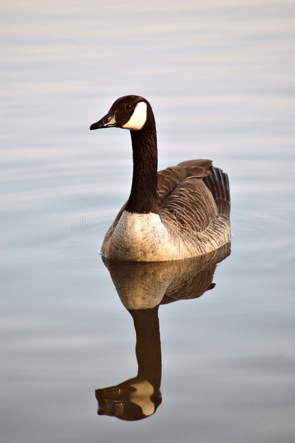 Free Canadian Goose Royalty Free Stock Photos - 284288