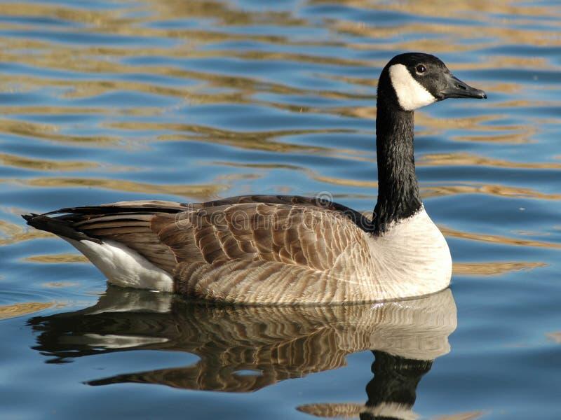 Canadian Goose stock photos
