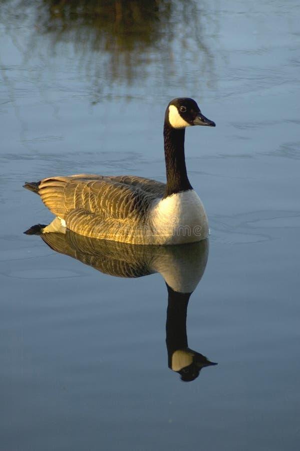 Download Canadian Goose stock image. Image of canadian, ducks, newbury - 77049