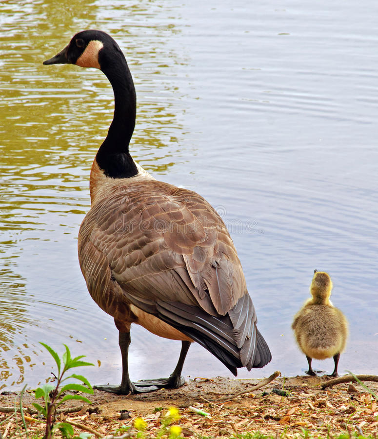 Free Canadian Goose And Gosling Stock Photo - 19427530