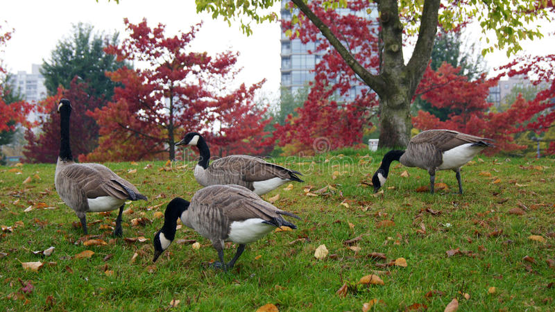 Canadian goose or Branta Canadensis eating green pasture near the pond royalty free stock photo