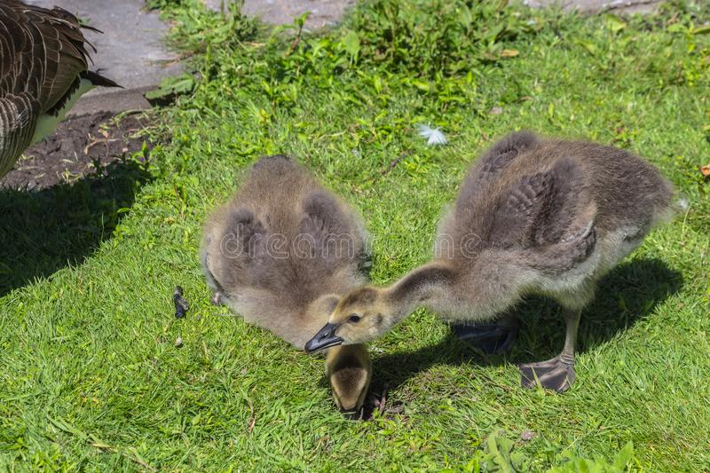 Canadian goose Branta canadensis walking with young goslings royalty free stock photo