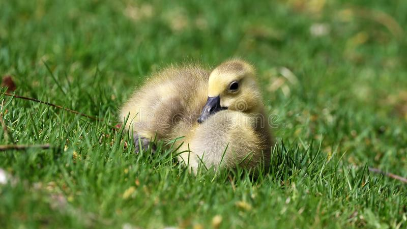 Canadian goose with chicks, geese with goslings walking in green grass in Michigan during spring. Unique cute picture of this baby birds just a couple days of stock images