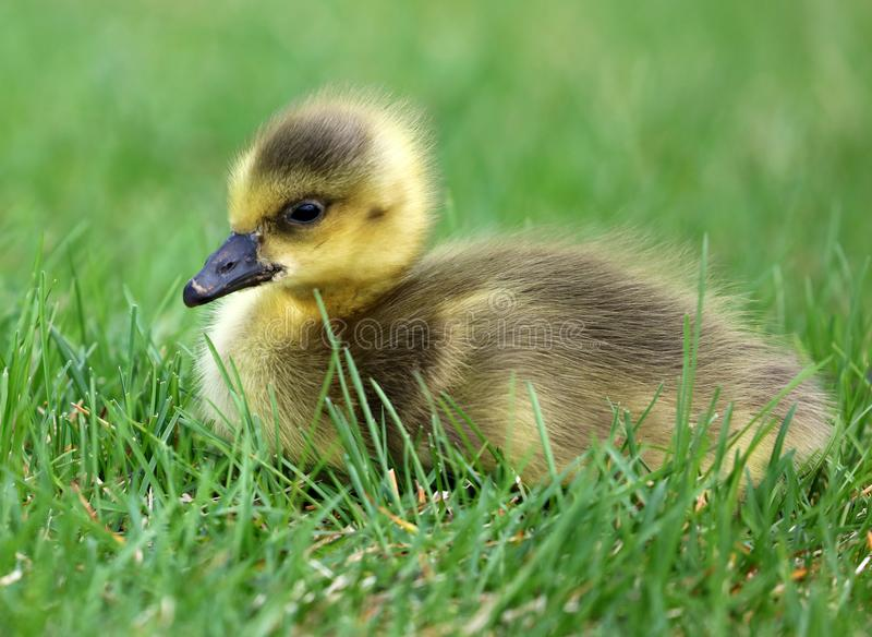 Canadian goose with chicks, geese with goslings walking in green grass in Michigan during spring. Unique cute picture of this baby birds just a couple days of royalty free stock photo