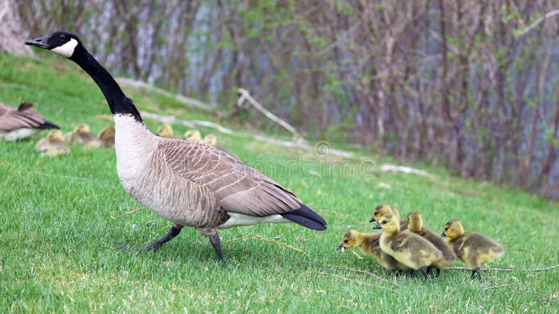 Canadian goose with chicks, geese with goslings walking in green grass in Michigan during spring. Unique cute picture of this baby birds just a couple days of