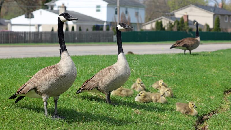 Canadian goose with chicks, geese with goslings walking in green grass in Michigan during spring. Unique cute picture of this baby birds just a couple days of stock photos