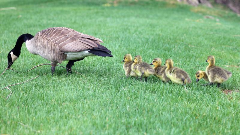 Canadian goose with chicks, geese with goslings walking in green grass in Michigan during spring. Unique cute picture of this baby birds just a couple days of stock photography