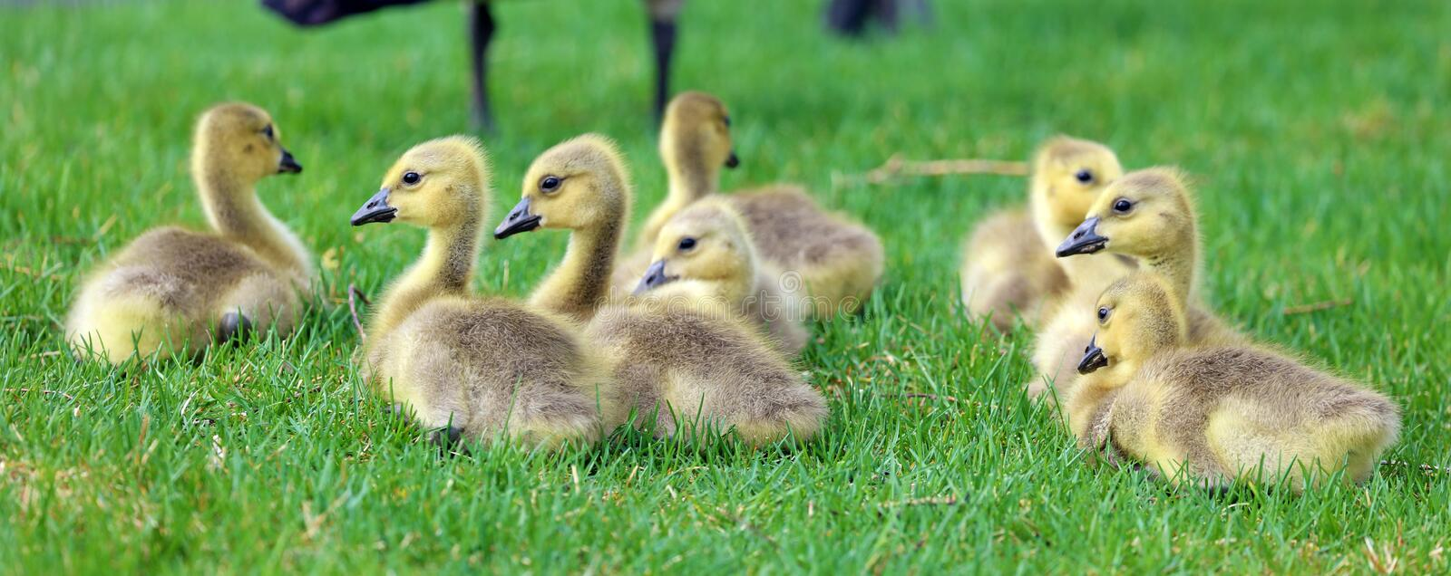 Canadian goose with chicks, geese with goslings walking in green grass in Michigan during spring. Unique cute picture of this baby birds just a couple days of royalty free stock images