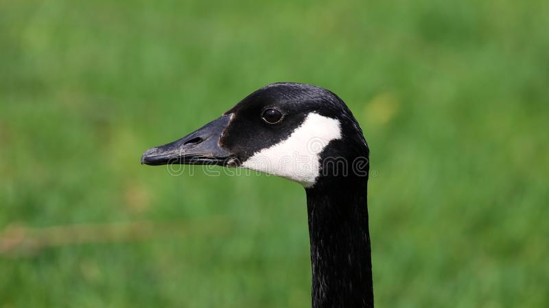 Canadian goose with chicks, geese with goslings walking in green grass in Michigan during spring. Unique cute picture of this baby birds just a couple days of stock image