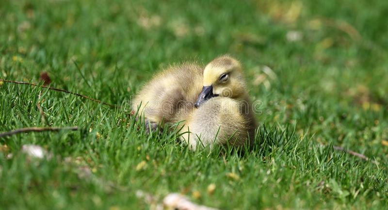 Canadian goose with chicks, geese with goslings walking in green grass in Michigan during spring. Unique cute picture of this baby birds just a couple days of royalty free stock photography