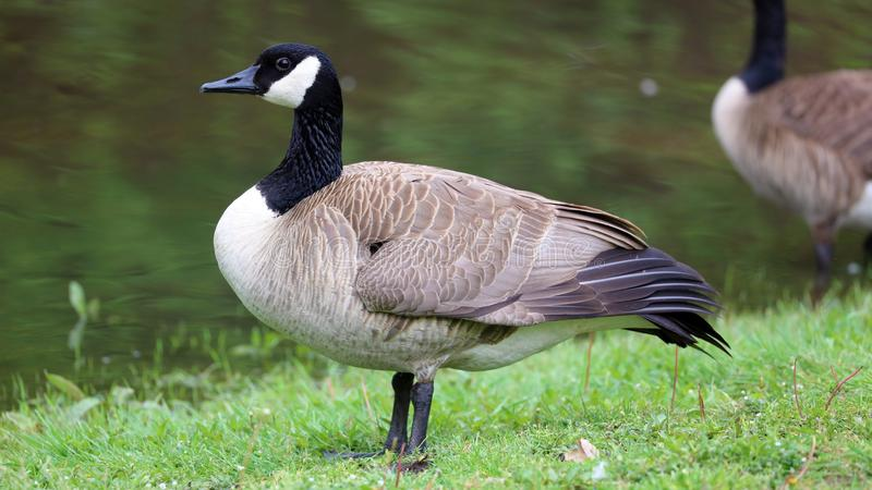 Canadian goose with chicks, geese with goslings walking in green grass in Michigan during spring. Unique cute picture of this baby birds just a couple days of stock photo