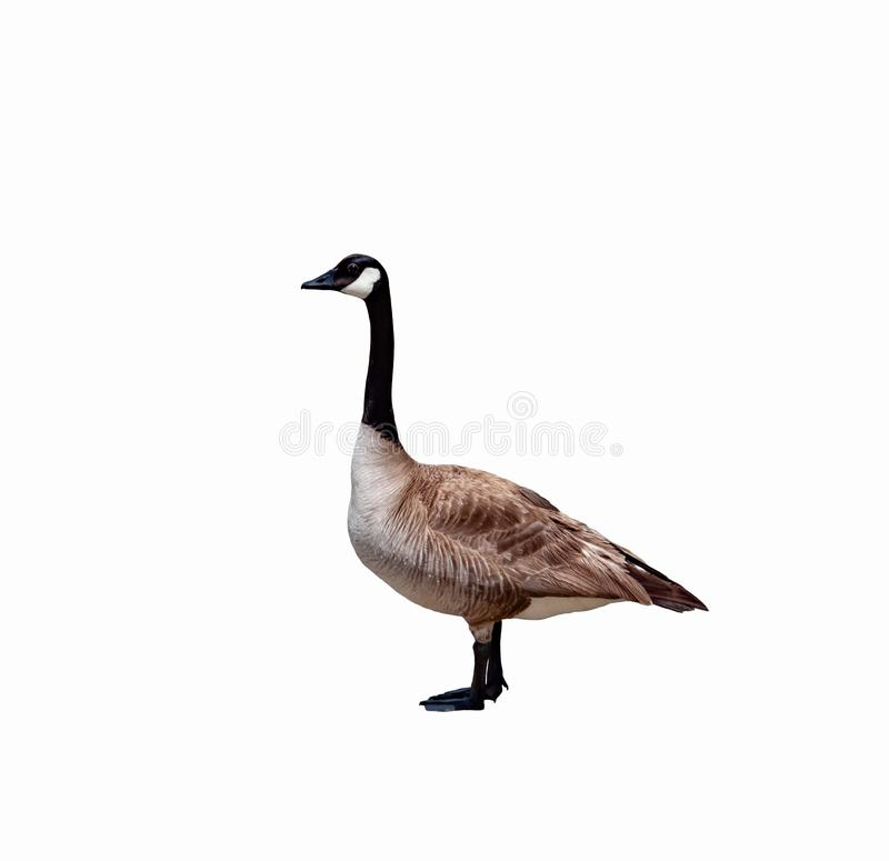 Free Canadian Goose Close Up Stock Images - 120347374