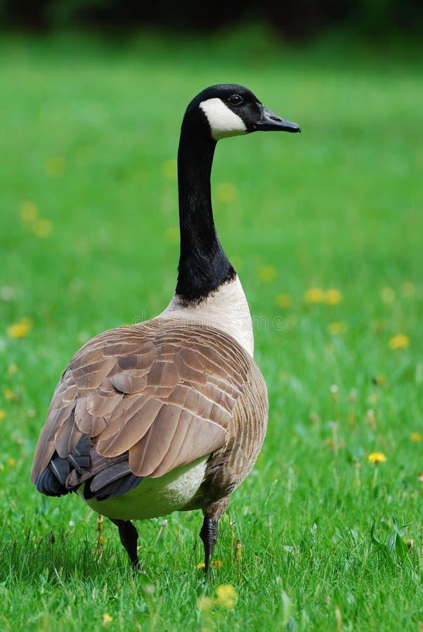Free Canadian Goose Closeup Detail Stock Images - 12155874