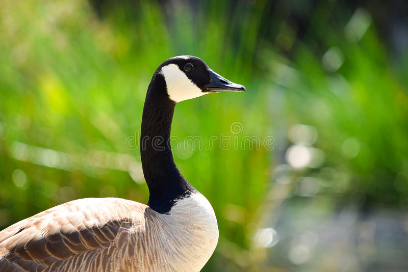 Download Canadian Goose stock photo. Image of outdoor, fauna, goose - 92312260