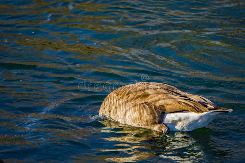 Canadian Goose Feeding on the Bottom of a River. Canadian goose bottom feeding on the Roanoke River located in Roanoke County, Virginia, USA royalty free stock photography