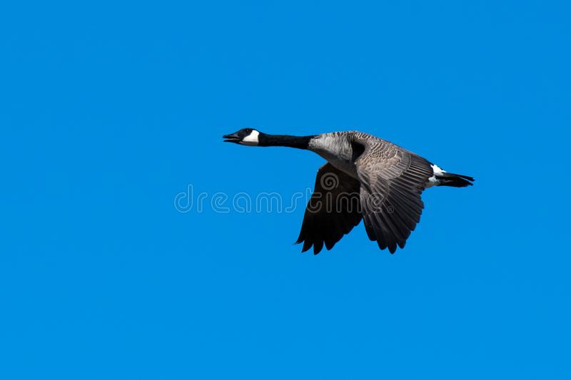 A Canadian Goose Flapping its wings in flight stock photos