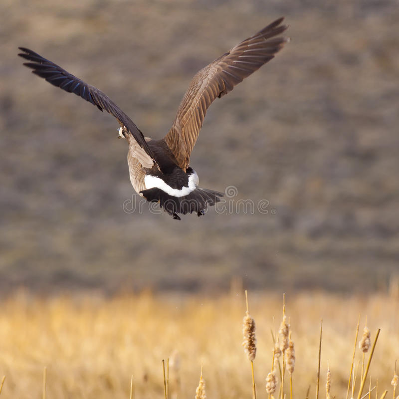 Canadian Goose Flying Royalty Free Stock Image