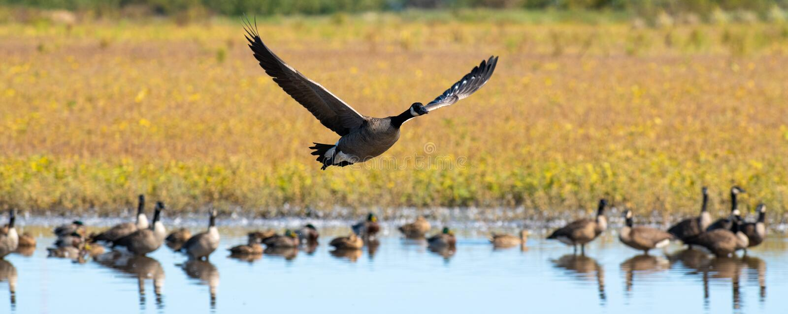 A Canadian Goose flying over a standing water with other birds in it. A Canadian Goose flying over a standing water in a farm field with other birds in it royalty free stock photos