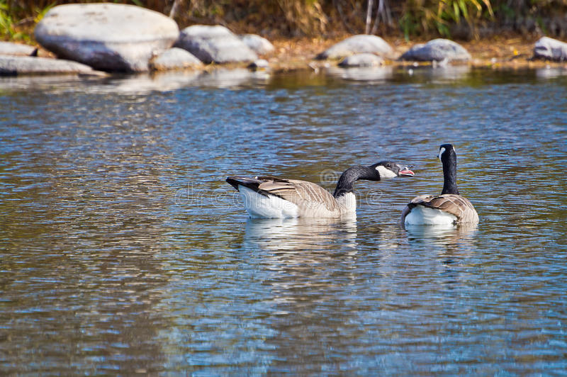 Canadian Goose Honking at Companion. Canadian Goose becomes upset and makes his feelings known by honking at his companion royalty free stock photography