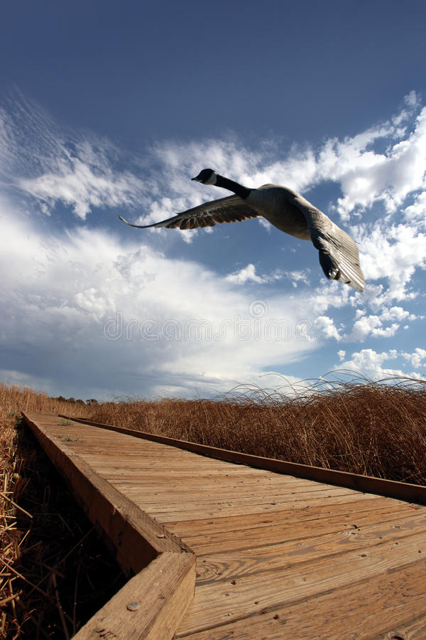 Free Canadian Goose In Flight Royalty Free Stock Images - 12230559