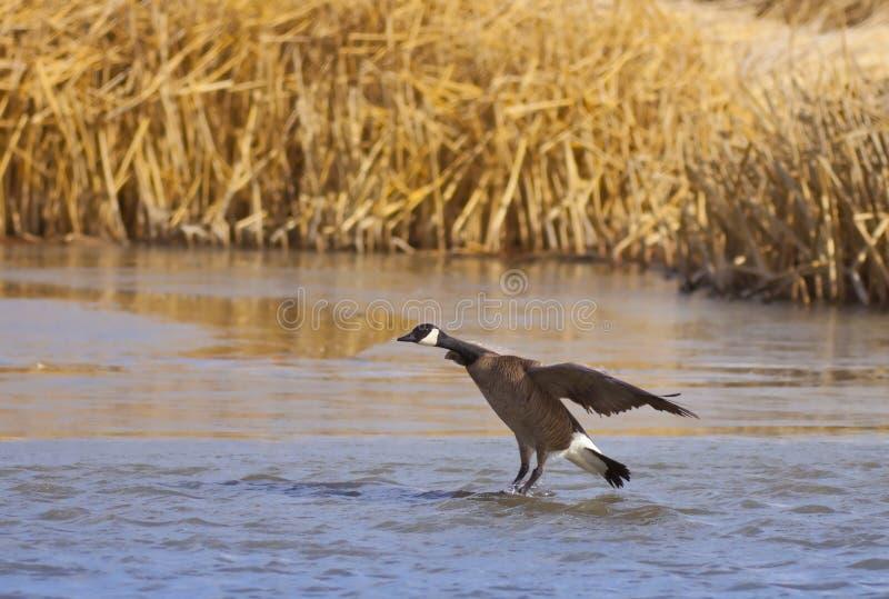 Download Canadian Goose Landing Royalty Free Stock Photo - Image: 24102655