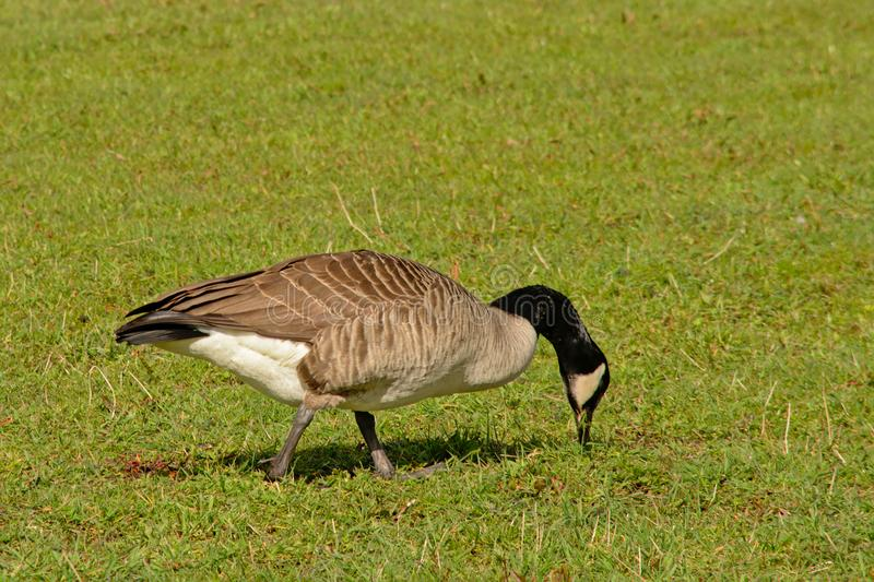 Canada goose in a meadow - Branta canadensis stock photo