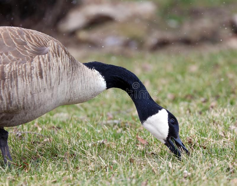 Canadian goose in Michigan during snowing in winter eating grass in park royalty free stock photography