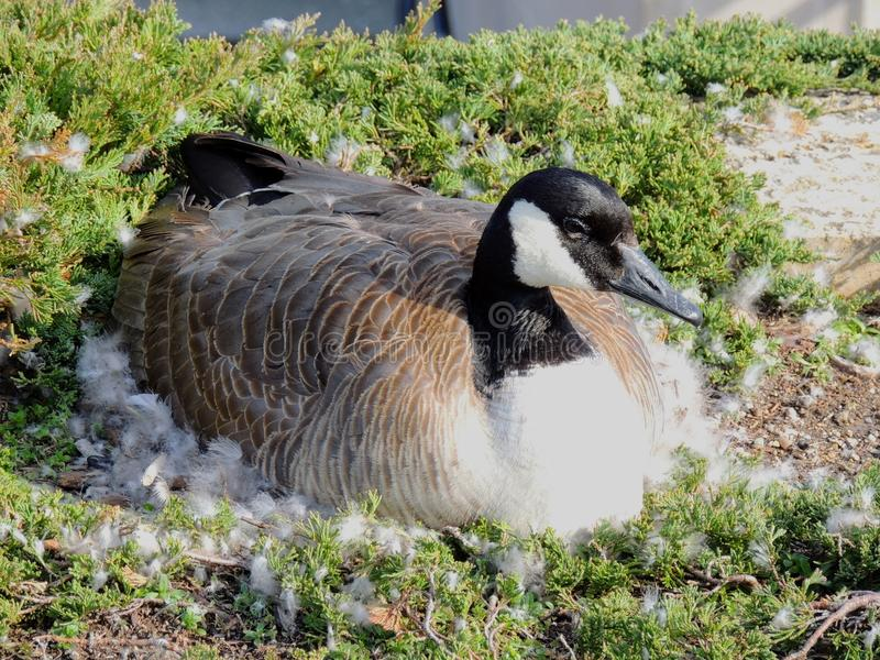 Canadian Goose nesting female laying in a nest of urban bushes surrounded by feather down in Indianapolis White River State Park I royalty free stock photography