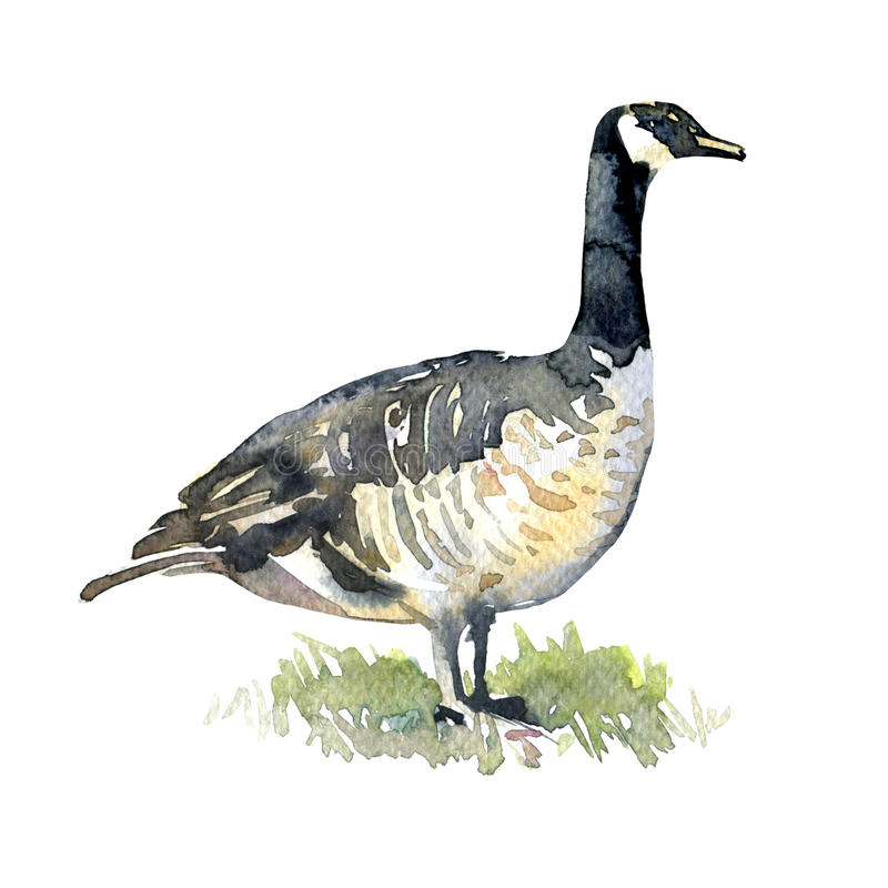 Free Canadian Goose On Green Grass Isolated, Watercolor Illustration Stock Image - 75017001