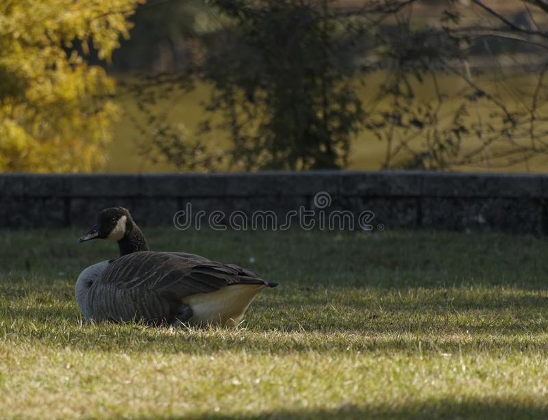 Canadian Goose Resting at the Park royalty free stock image