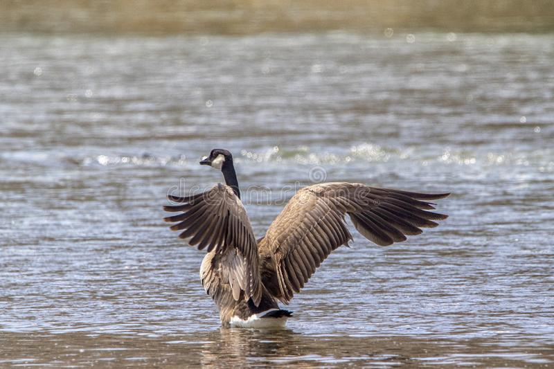 Canadian Goose on river bank stretching its wings stock images