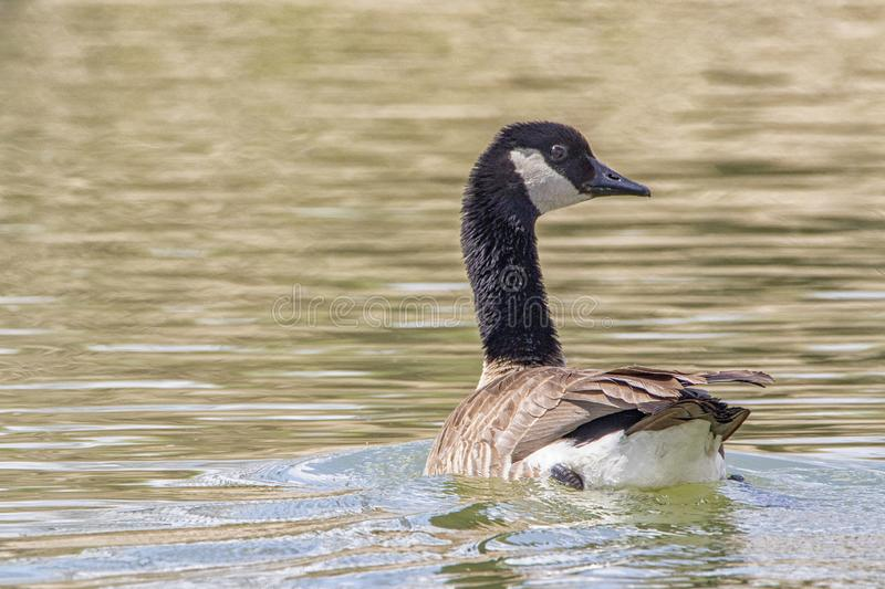 Canadian Goose on river bank swimming royalty free stock image