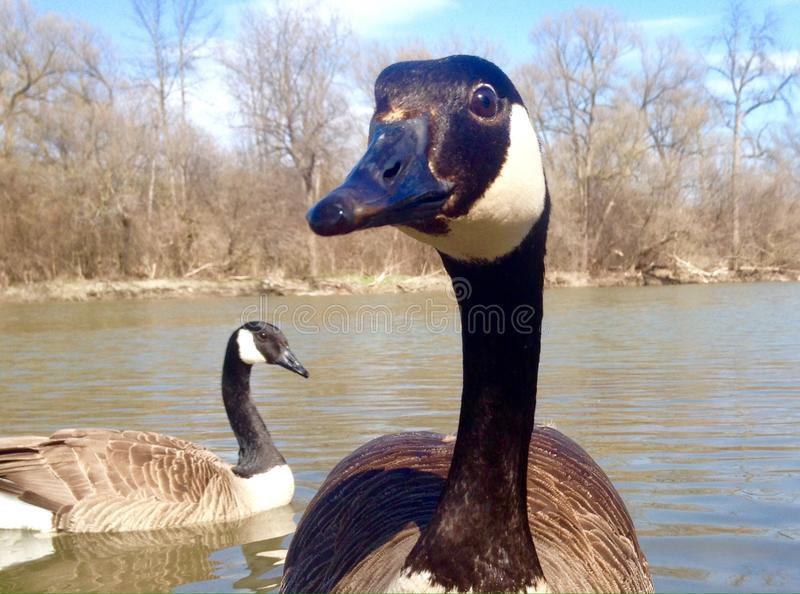 Canadian goose close-up. Canadian goose on the river at sunny day in May in Canada stock photo