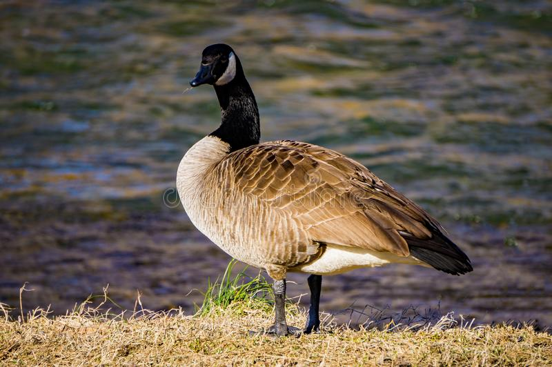 Canadian Goose by the Roanoke River. Canadian goose wintering by the Roanoke River located in Roanoke County, Virginia, USA royalty free stock image
