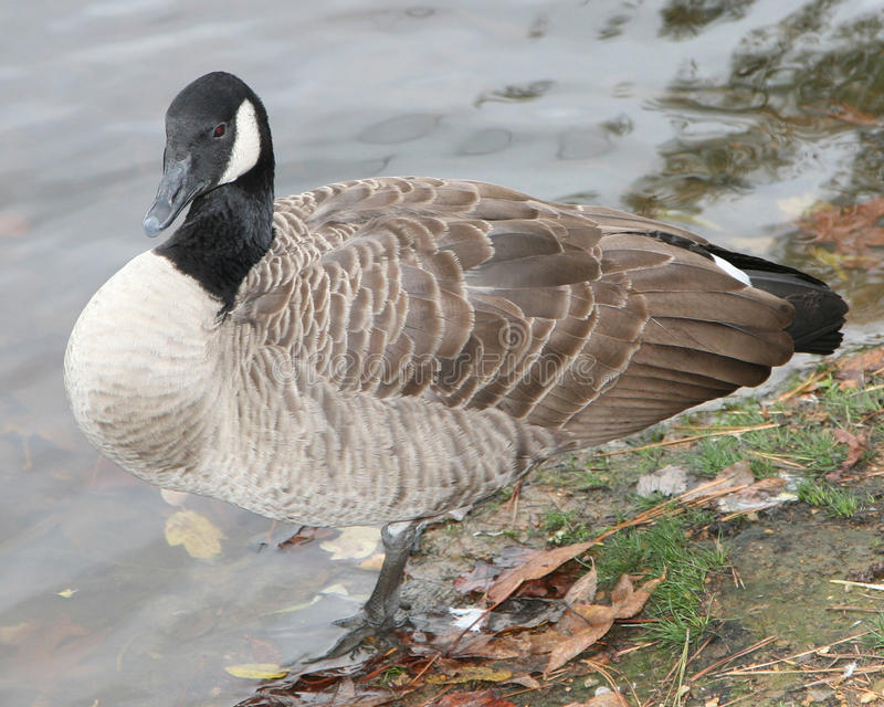Canadian goose at the shore of a lake. Close view of a Canadian goose taken with a pro level lens for extreme detail stock images