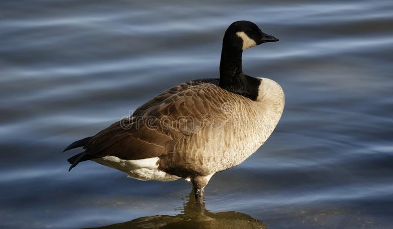 Canadian Goose Surveying His Domain royalty free stock image
