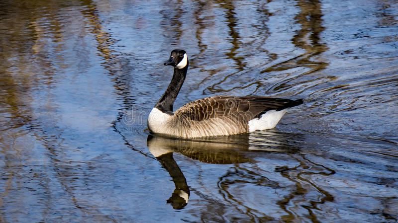 Canadian Goose. A Canadian goose swimming in a local river while wintering in Virginia stock photos