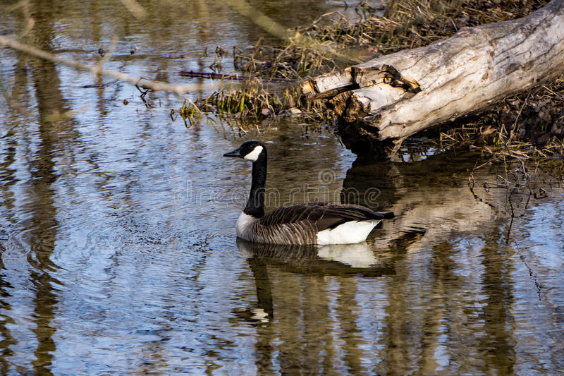 Canadian Goose. A Canadian goose swimming in a local river while wintering in Virginia royalty free stock photo