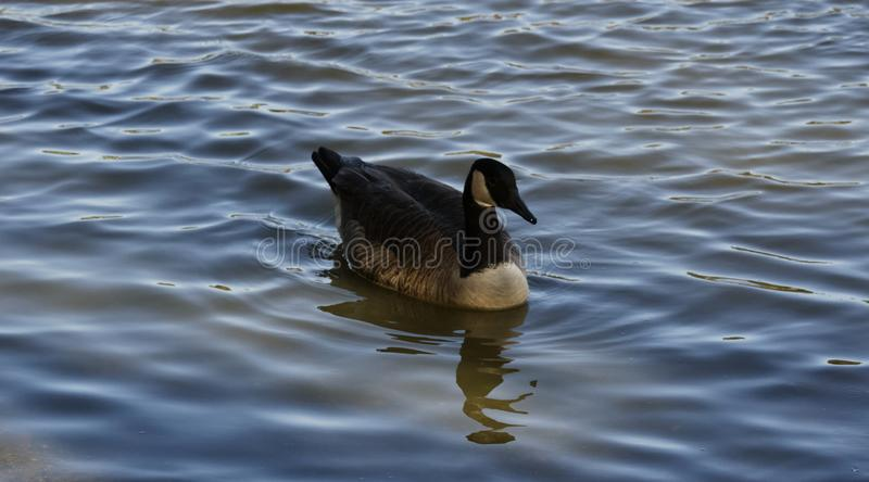 Canadian Goose Swimming Southeast stock photography