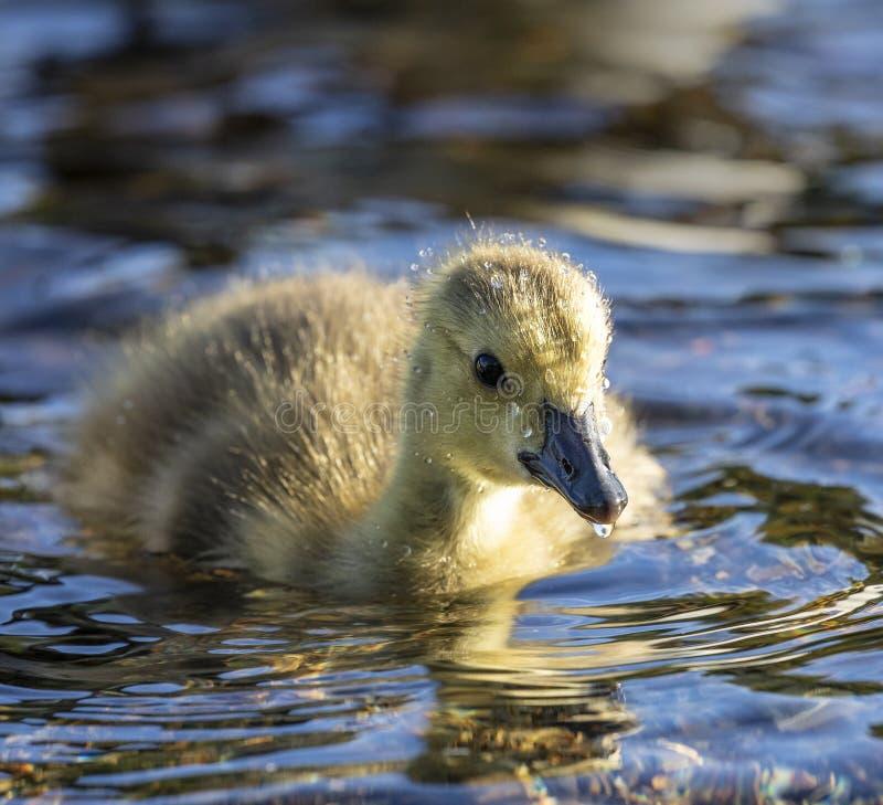 Canadian goose - Gosling royalty free stock photos