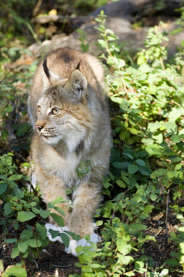 Download Canadian Lynx stock image. Image of furry, feline, wood - 1478095