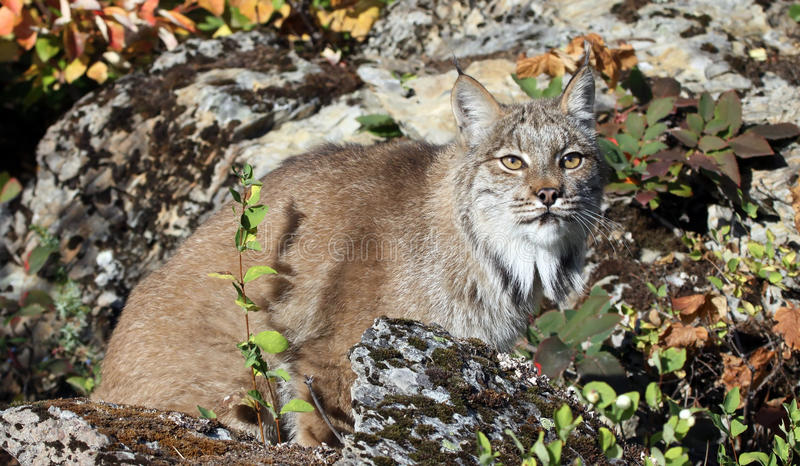 Download Canadian lynx stock photo. Image of nature, rock, lynx - 19521136