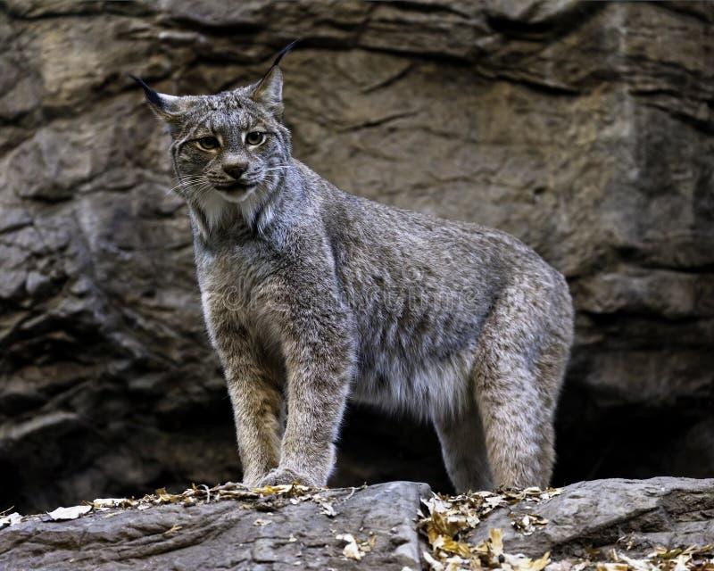 Download Canadian Lynx stock image. Image of coat, predator, rock - 22420499