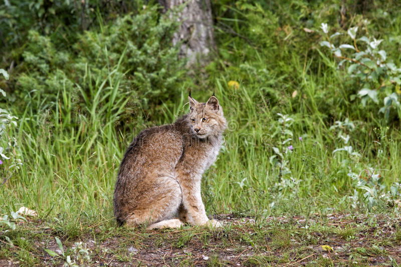 Download Canadian Lynx Stock Images - Image: 26038534